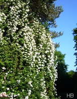 Ramblerrose © H. Brune