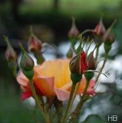 Rose Westerland © H. Brune