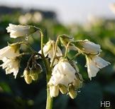 Kartoffelblüte © H. Brune