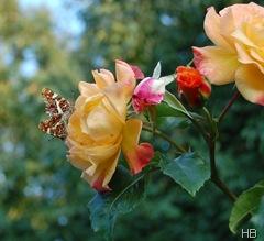 Rose 'Moonlight' mit Landkärtchen © H. Brune