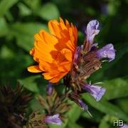 Ringelblume © H. Brune