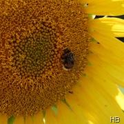 Sonnenblue mit Hummel © H. Brune