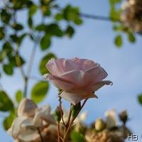 Rose New Dawn © H. Brune