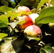 Äpfel © H. Brune