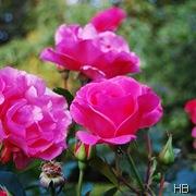 Rose Pink Lady © H. Brune