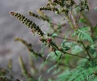 Die Pflanze am Vogelhäuschen © H. Brune