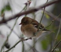 Buchfink Weibchen © H. Brune