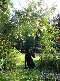 Rosenbogen mit Hund © H. Brune