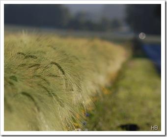 Getreide © H. Brune