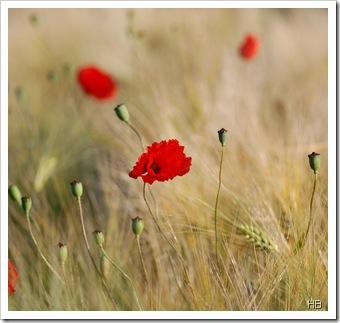 Getreide mit Mohn © H. Brune