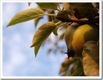 Apfelbaum © H. Brune