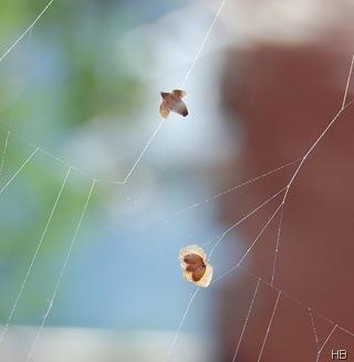 Birkensamen im Spinnennetz © H. Brune