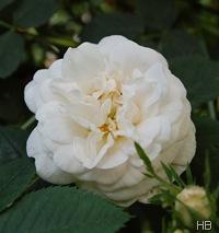 Cantaloop Rose © H. Brune