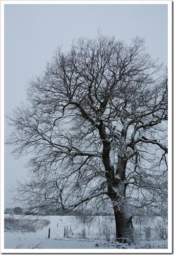 Eichen im Winter © H. Brune