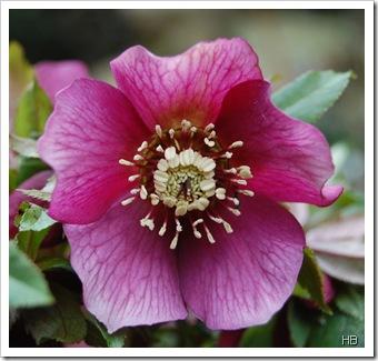 Schneerosenblüte H. Brune