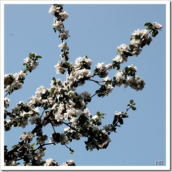 Apfelblüte © H. Brune