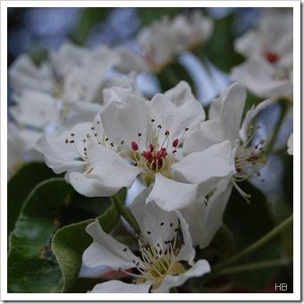 Birnenblüte © H. Brune