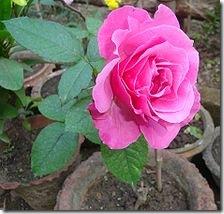 Rose Description