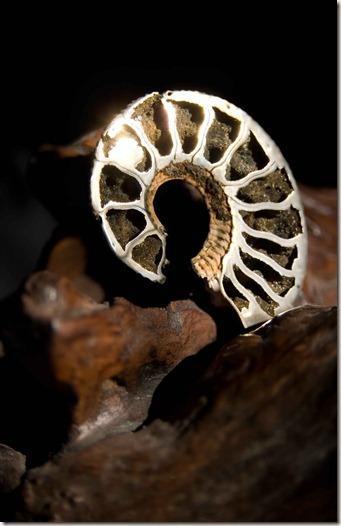 Ammonite-2
