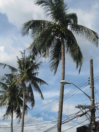 coconut trees and utility pole