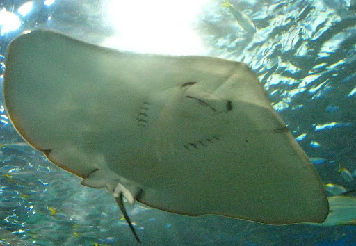 underside of a stingray