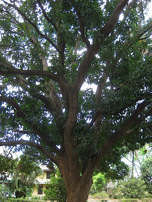 huge tree in the FEBIAS College of Bible campus