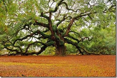 tree,beautiful,nature,usa,natureza,plantas-d2f51b382ccdf98952e1b13c22764c3c_h[1] Angel Oak, South Carolina, by MarkRegs