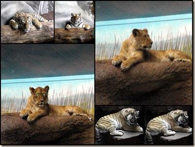 Løver og tigere i dyreparken nov 09