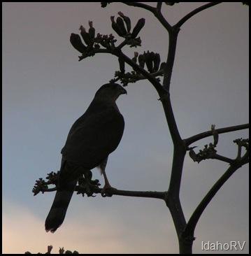 Hawk-Close