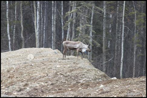 Caribou-2