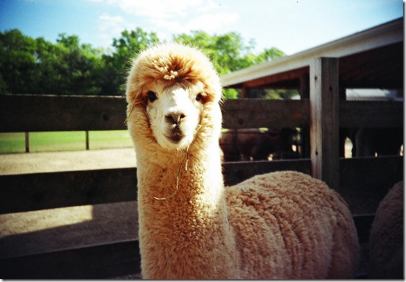 A is for Alpaca by nick benson photography