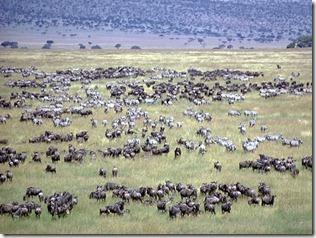 Serengeti - göç 2
