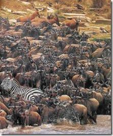 Serengeti - göç 4
