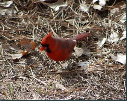 Cardinals 027