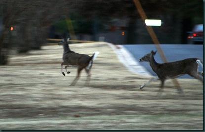 Deer 028