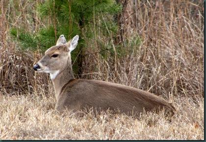 Deer @ McAlester 012