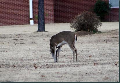Deer @ McAlester 013