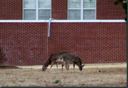 Deer @ McAlester 029
