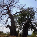 Baobab bomen
