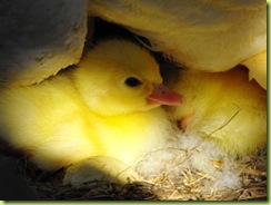 Baby duck 1 for web