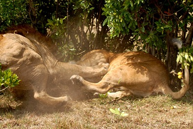 A lioness unsuccessfully trying to protect her cubs ©Sara Blackburn