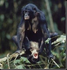 bonobos-sexual-large
