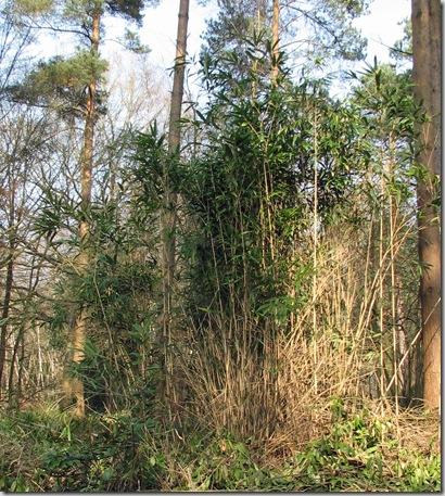 20090321 BHW 2g Sasa palmata chimaki zasa