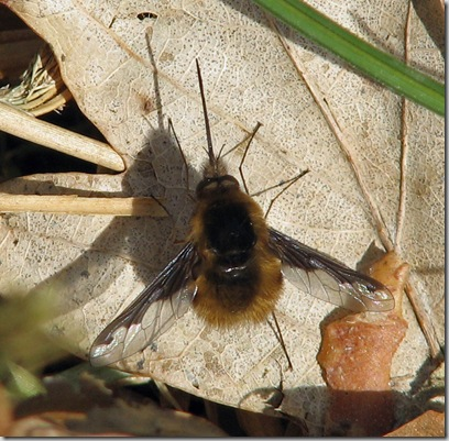 20090318 BHW Bombylius major 020a