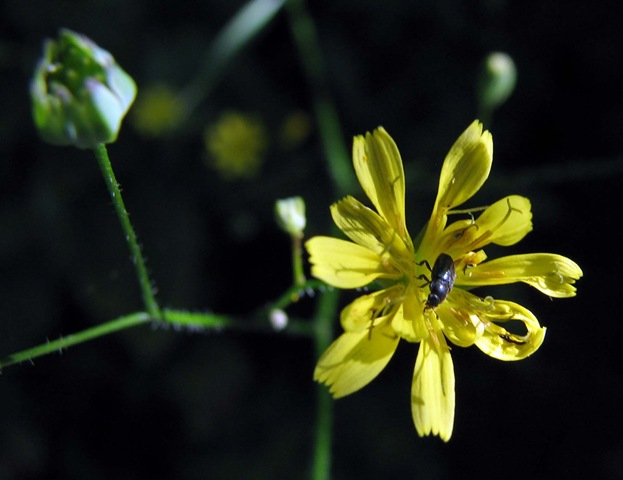 [20090703 KWR nipplewort & pollen beetle[3].jpg]