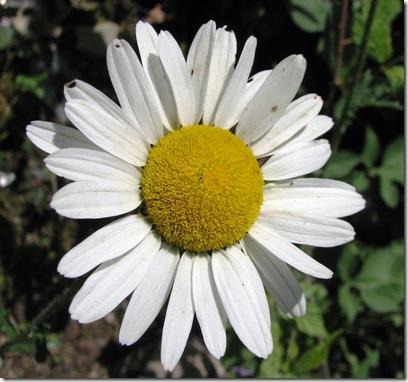 20100614 Killingan ox-eye daisies 028
