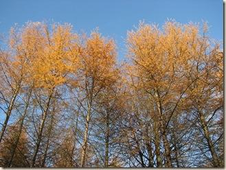 20101119 BHW Larix in autumn  024