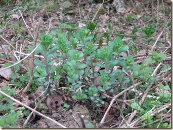 20110319 Maisie Endophyllum 016
