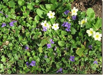 20110410 Violets & primoses 002