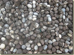 Tagua Seeds Drying1 (Small)